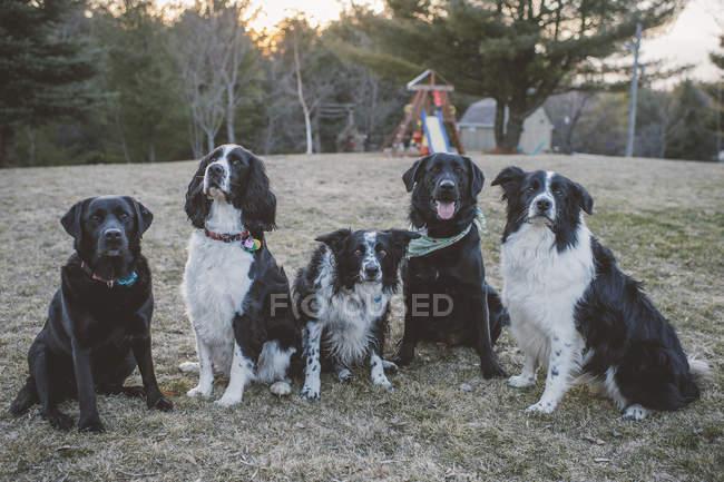 Cinq chiens assis dans la rangée, en plein air sur la Prairie — Photo de stock