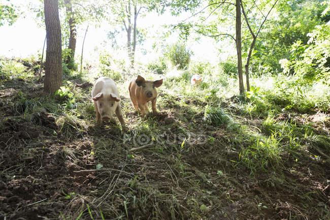 Heritage pigs moving down woodland on free range organic farm — Stock Photo