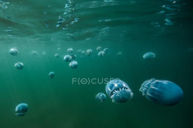 Medusas de cañón (Stomolophus meleagris), en el océano, vista submarina, La Paz, Baja California Sur, México, América del Norte - foto de stock