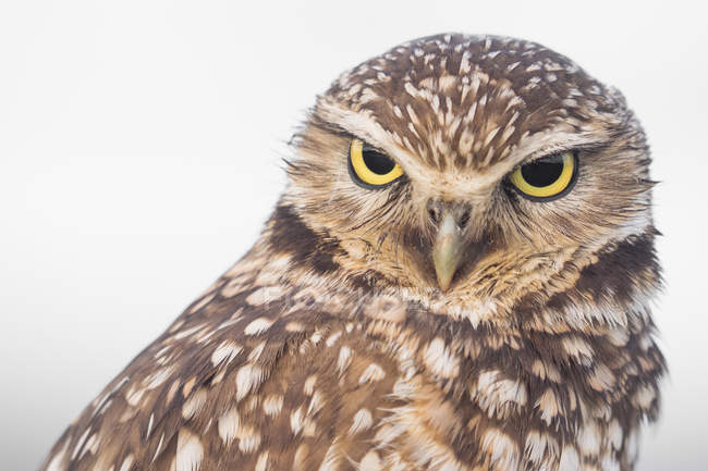 Burrowing Owl, Ocean Beach, San Francisco, California, United States, North America — Stock Photo