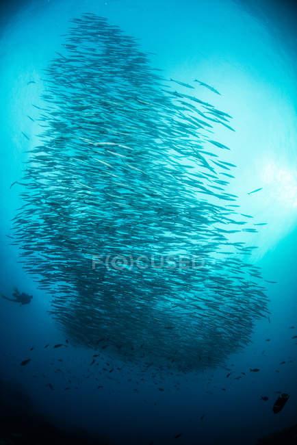 School of barracuda fish, Seymour, Galapagos, Ecuador, South America — Stock Photo