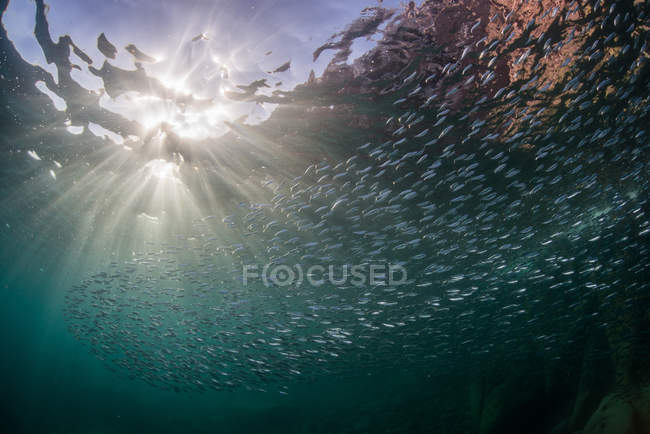 Sardines in ocean, La Paz, Baja California Sur, Mexico — Stock Photo
