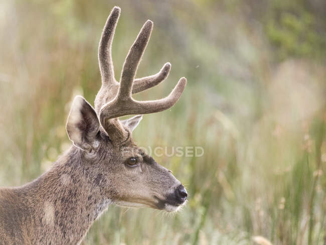 Cervi di mulo buck in erba lunga, Point Reyes National Seashore, California, Stati Uniti d'America — Foto stock