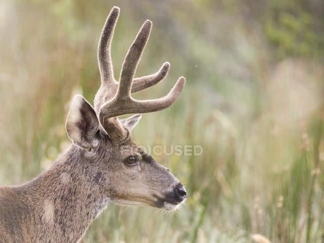 Mule deer buck in long grass, Point Reyes National Seashore, California, USA — Stock Photo