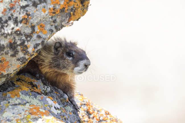 Close-up di marmotta dal ventre giallo, Parco nazionale di Yellowstone, Wisconsin, Stati Uniti, Nord America — Foto stock