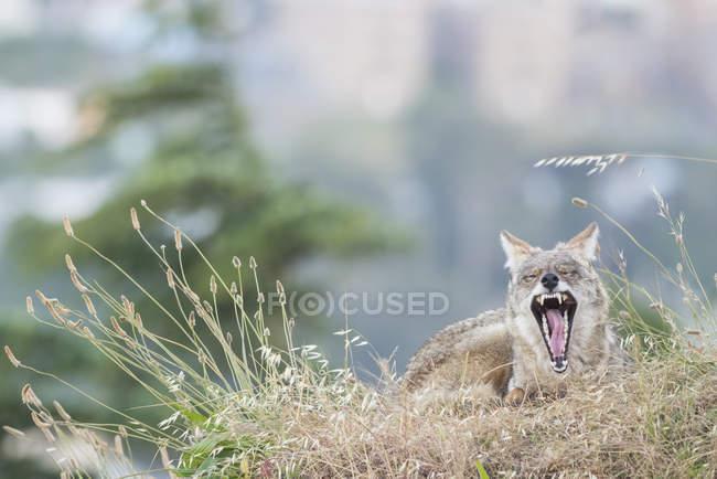 Coyote, Bernal Heights, San Francisco, California, United States, North America — Stock Photo