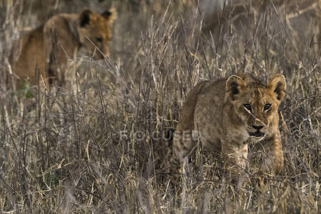 Due piccoli cuccioli di leone cammina nell'erba secca a Tsavo, Kenya — Foto stock