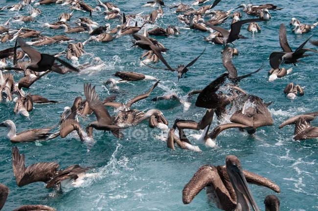 Flock of birds feeding on water surface, Seymour, Galapagos, Ecuador, South America — Stock Photo