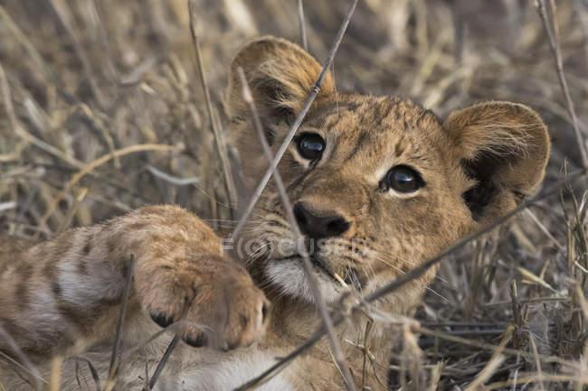 Retrato de um filhote de leão jogando e deitado na grama no Quênia — Fotografia de Stock