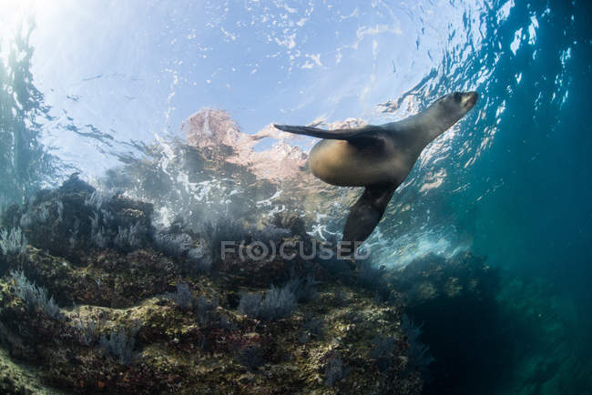 Sea Lion, La Paz, Baja California Sur, Mexico — Foto stock