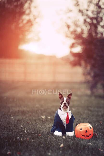 Портрет носіння діловий костюм для Хеллоуїна в парку Бостон-тер'єр — стокове фото