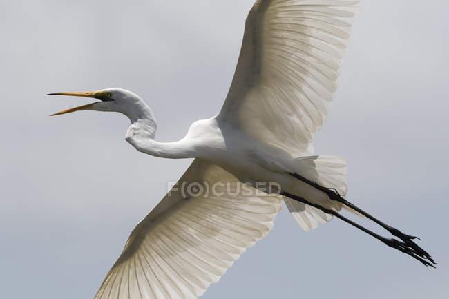 Grande egret, Egretta alba, in volo, Tsavo, Kenya — Foto stock