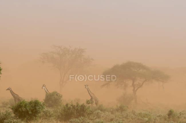 Три масаи Жирафы в пыльные бури, Тсаво, Кения — стоковое фото