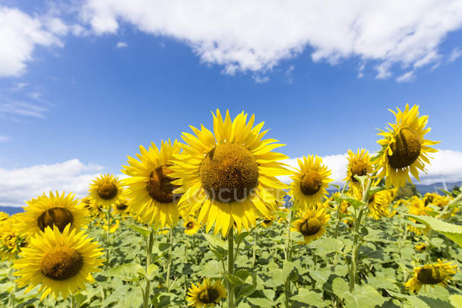 Beautiful bright sunflowers in field, Provence, France — Stock Photo