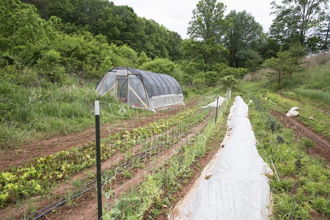 Linhas de legumes na horta e estufa — Fotografia de Stock
