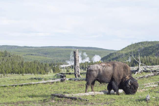 Bisonte americano en el Parque Nacional de Yellowstone, Wisconsin, Estados Unidos, Norteamérica - foto de stock