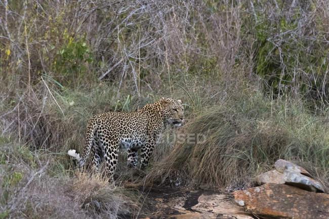 Leopard on kopje in Laualenyi game reserve, Tsavo, Kenya — Stock Photo