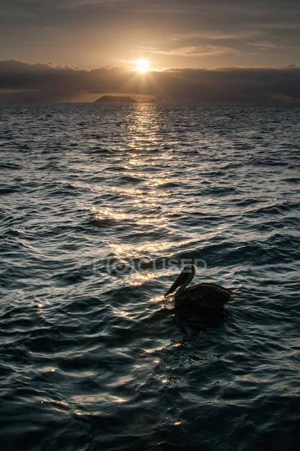 Oiseau se reposant sur la mer au coucher du soleil, Seymour, Galapagos, Équateur, Amérique du Sud — Photo de stock