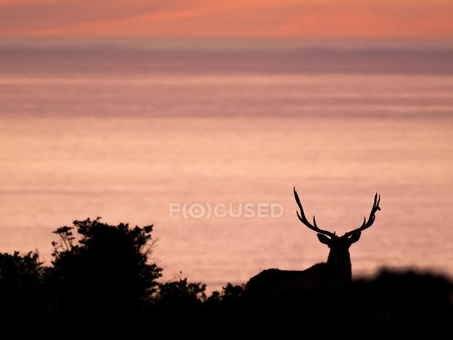 Silhouetted tule elk buck on coast at sunset, Point Reyes National Seashore, California, USA — Stock Photo