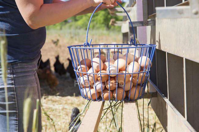 Розділ середині жінка Збір корзини безкоштовна діапазон яйця від курей, органічні ферми — стокове фото