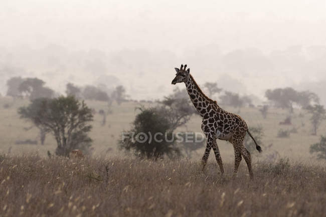 Distant view of Maasai giraffe walking in early morning mist, Tsavo, Kenya — Stock Photo