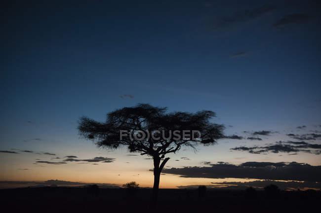 Acacia tree and beautiful colored sky at sunset, Tsavo, Kenya — Stock Photo