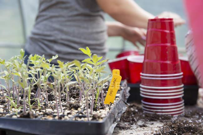Recadrée vue de femme, la plantation de semis dans des tasses en plastique — Photo de stock
