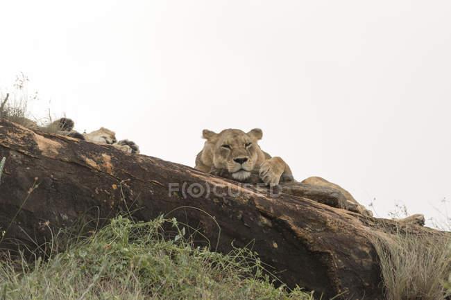 Двома молодими левиці, відпочиваючи на горбка, відомого як Лев рок в Lualenyi заповідник, Тсаво, Кенія — стокове фото