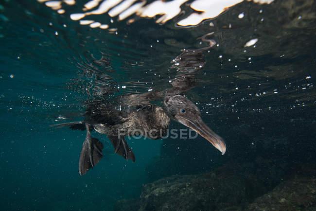 Vista submarina de flightless cormorant buscando presas por debajo de la superficie, Seymour, Galápagos, Ecuador, Sudamérica - foto de stock