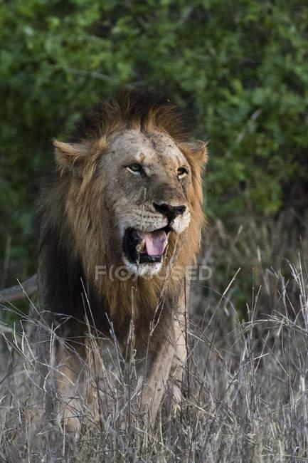 One male Lion roaring and walking on grass in Tsavo, Kenya — Stock Photo