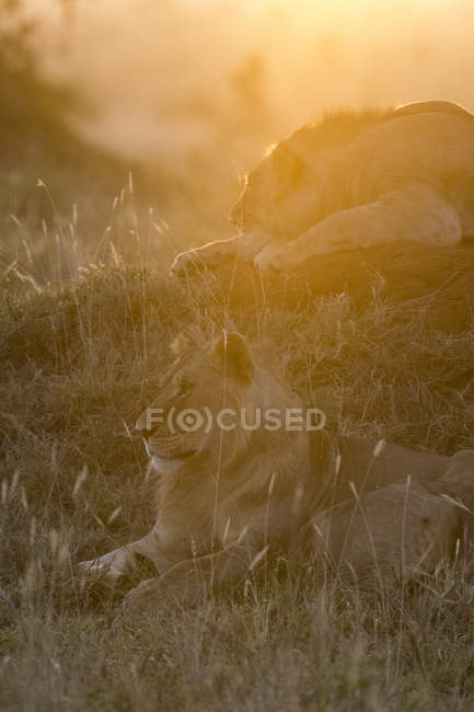 Lions resting on grass and hill during sunset in Tsavo, Kenya — Stock Photo