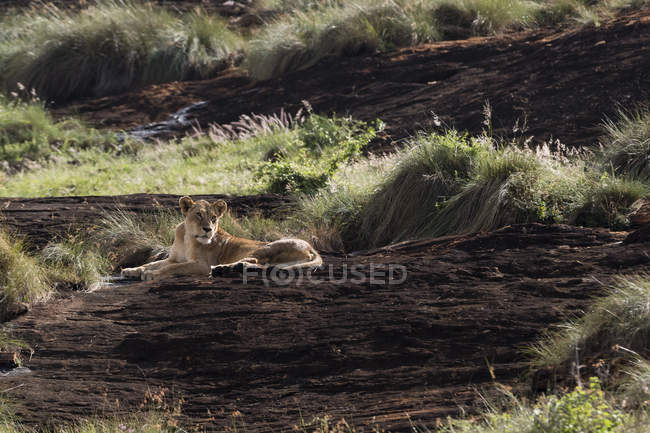 Lioness lying on kopje known as Lion Rock in Lualenyi reserve, Tsavo, Kenya — Stock Photo