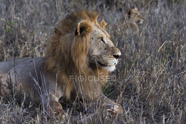 Side view of Lion lying on grass and looking away in Tsavo, Kenya — Stock Photo
