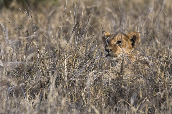 One Lion lying on tall dry grass and looking away in Tsavo, Kenya — Stock Photo