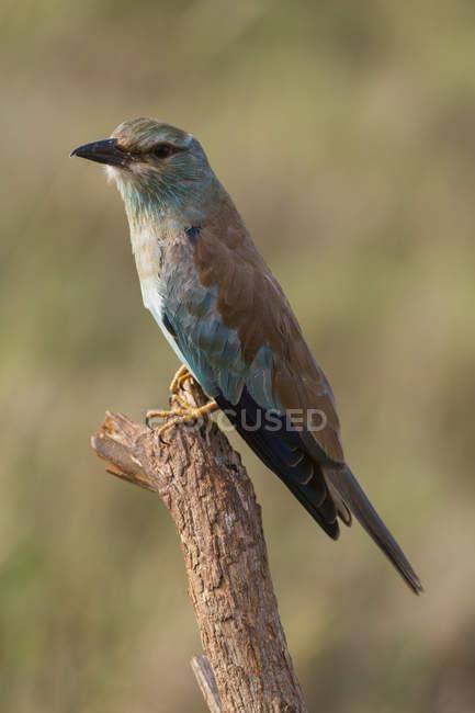 Ghiandaia Marina appollaiato sull'albero, Tsavo, Kenya — Foto stock