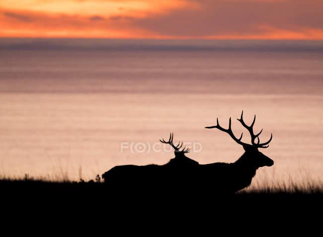 Recortadas em tule alce dólares (Cervus canadensis nannodes) na costa ao pôr do sol, Point Reyes National Seashore, Califórnia, EUA — Fotografia de Stock
