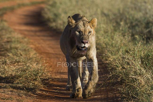 Lioness walking on path in Tsavo, Kenya — Stock Photo