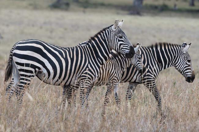 Два поширених зебр, quagga кінь і лоша, Тсаво, Кенія — стокове фото