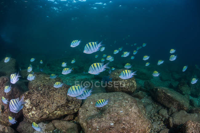 Рыба в океане, остров Эспириту-Санто, Ла-Пас, Нижняя Калифорния-Сур, Мексика — стоковое фото