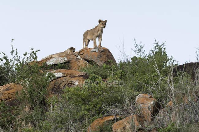 Два Левенята стоячи на горбка, відомого як Лев рок в Lualenyi заповідник, Тсаво, Кенія — стокове фото