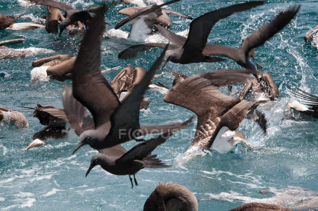 Manada de aves que se alimentan en la superficie del agua, Seymour, Galápagos, Ecuador, América del Sur — Stock Photo