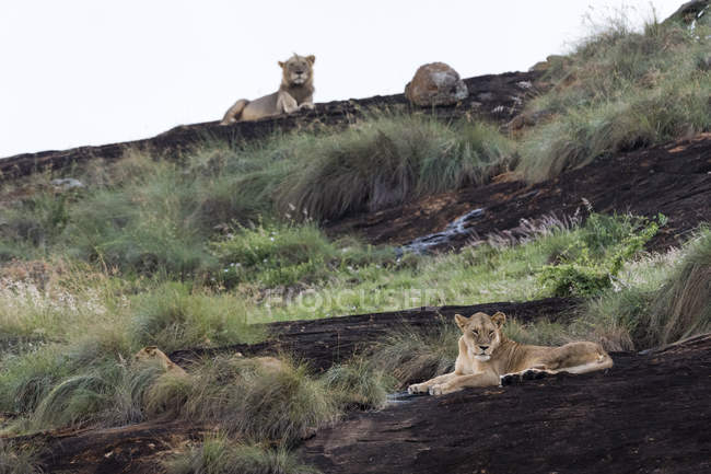 Lioness and male lion in background resting on kopje known as Lion Rock in Lualenyi reserve, Tsavo, Kenya — Stock Photo