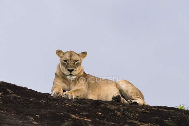 Lioness resting on kopje known as Lion Rock in Lualenyi reserve, Tsavo, Kenya — Stock Photo