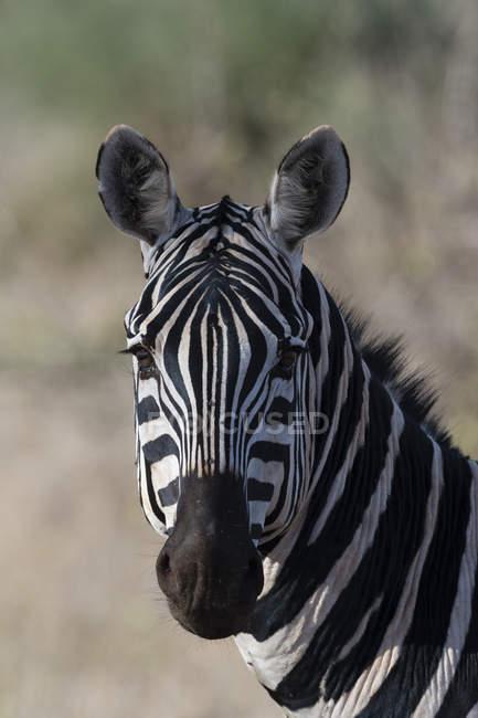 Портрет Зебра, глядя на камеру, Тсаво, Кения — стоковое фото