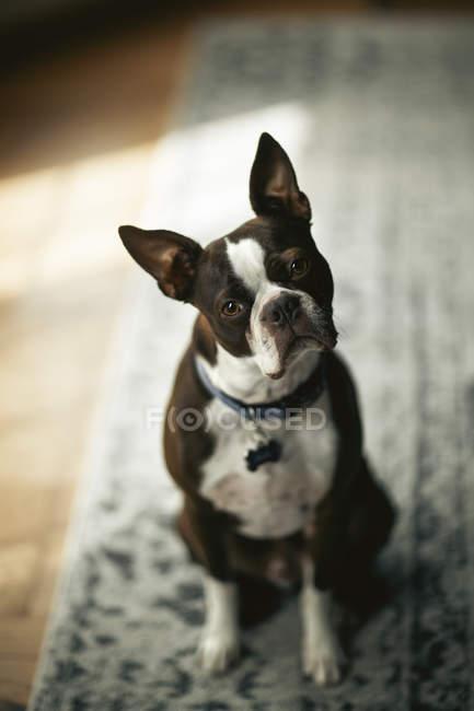 Portrait de Boston terrier, chef armé regardant la caméra — Photo de stock