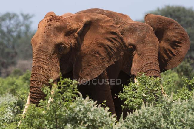 Deux éléphants d'Afrique marchant dans les buissons et parcourant Tsavo, Kenya — Photo de stock