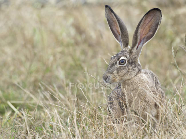 Black-tailed jackrabbit in long grass, Point Reyes National Seashore, California, USA — стоковое фото