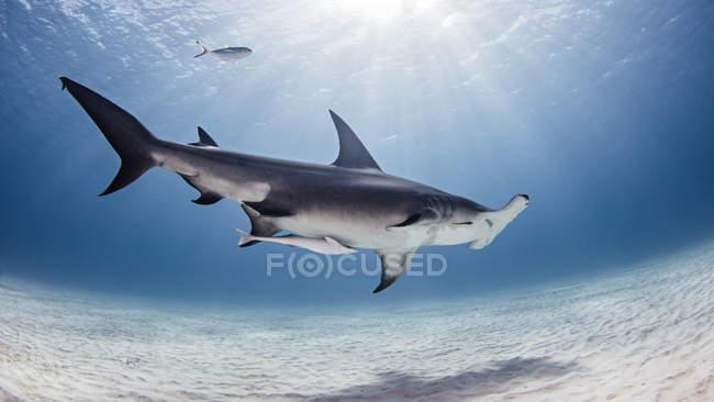Vue sous-marine de grand requin, Alice Town, Bimini, Bahamas — Photo de stock