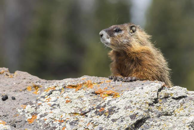 Желтобрюхий сурок (Marmota flaviventris), макро, Йеллоустонский национальный парк, штат Висконсин, Соединенные Штаты, Северная Америка — стоковое фото