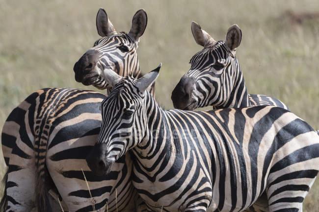 Загальні зебр стояли разом у Тсаво, Кенія — стокове фото